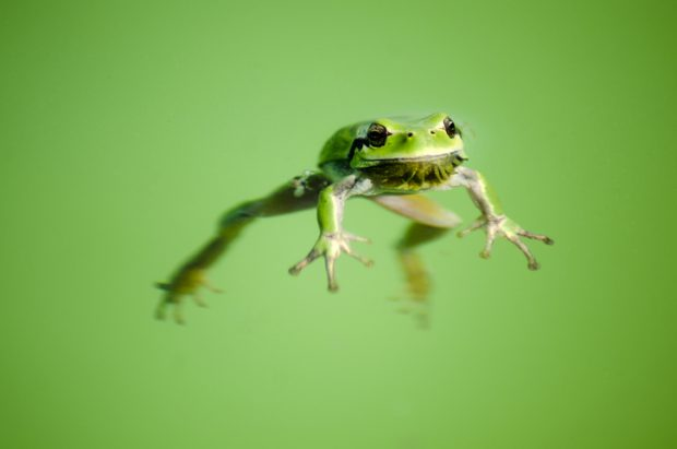 Floating frog in transparent and calm water .