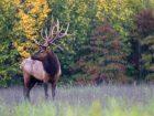 Big Bull Elk with Drop Tine